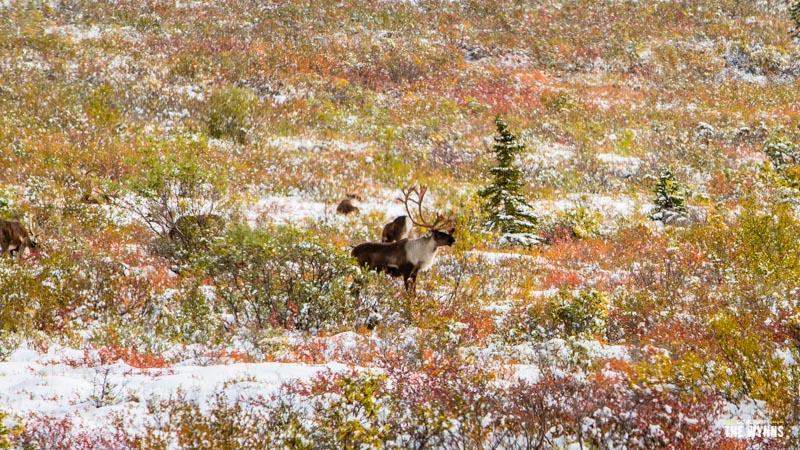 exploring Denali National Park