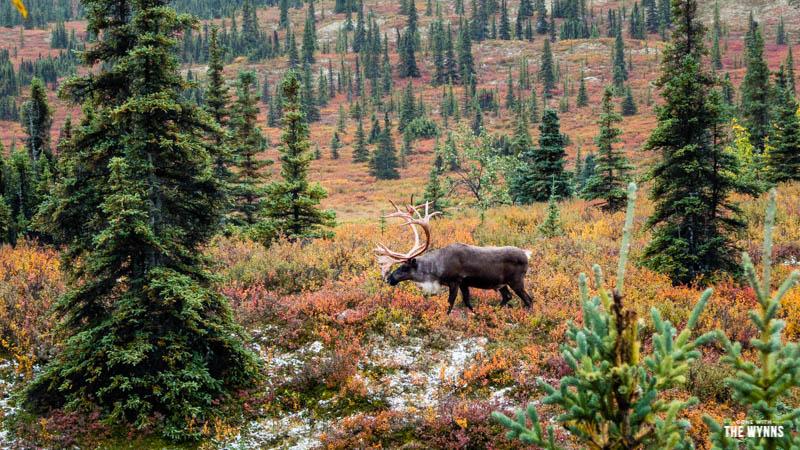 wildlife in Denali National Park