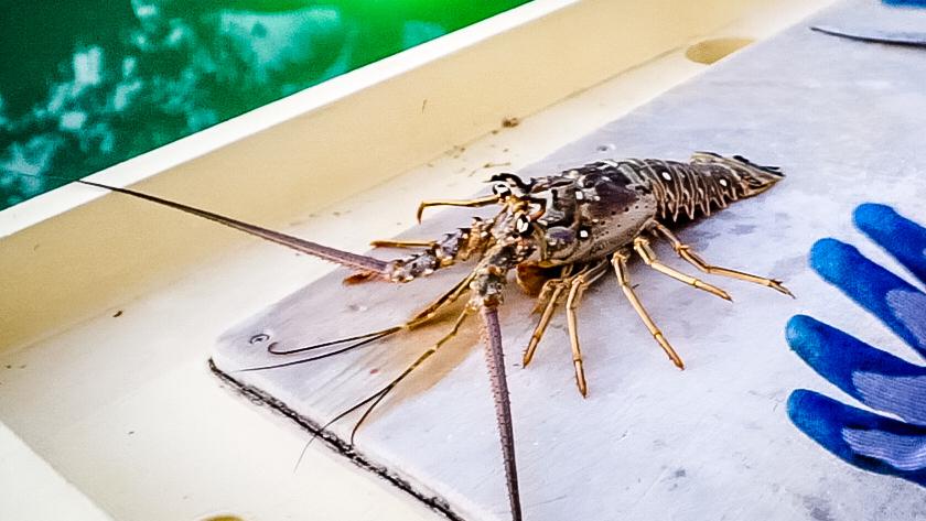 catching fresh wild lobster