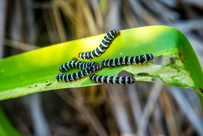 striped caterpillars moraine cay bahamas