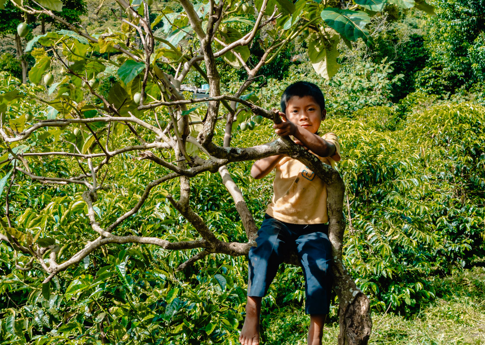 A native Ngobe boy plays in a sweet tomato tree on the farm waiting on dad.