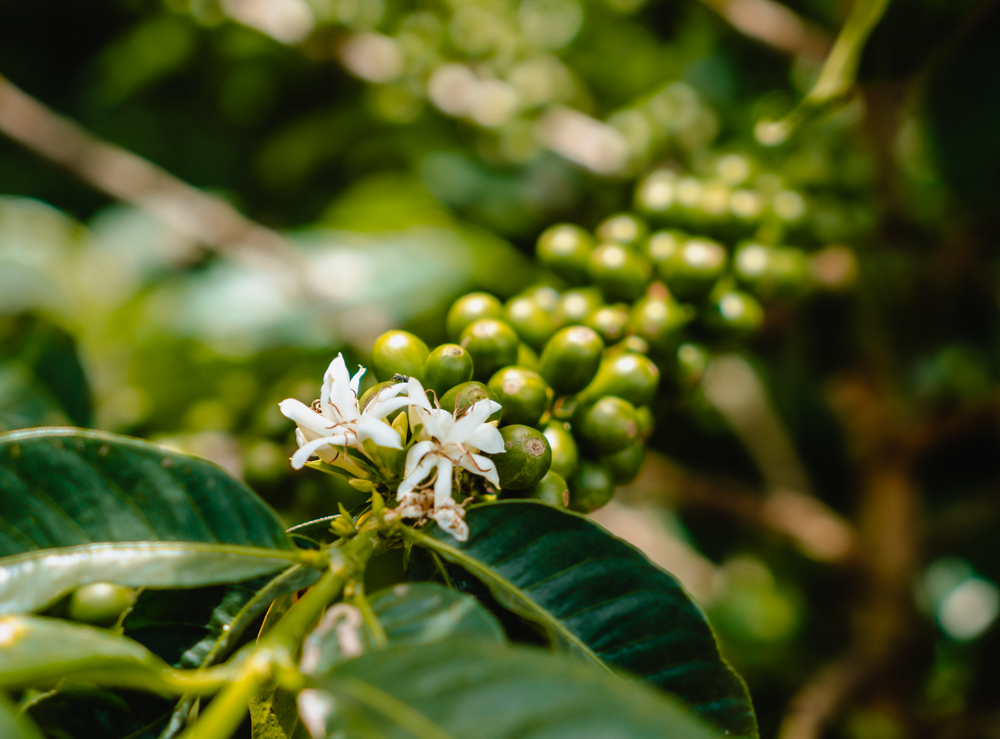 how coffee is grown and processed