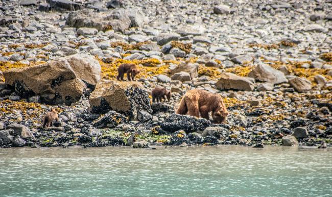 wild bears in alaska