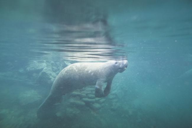 swim with manatee florida