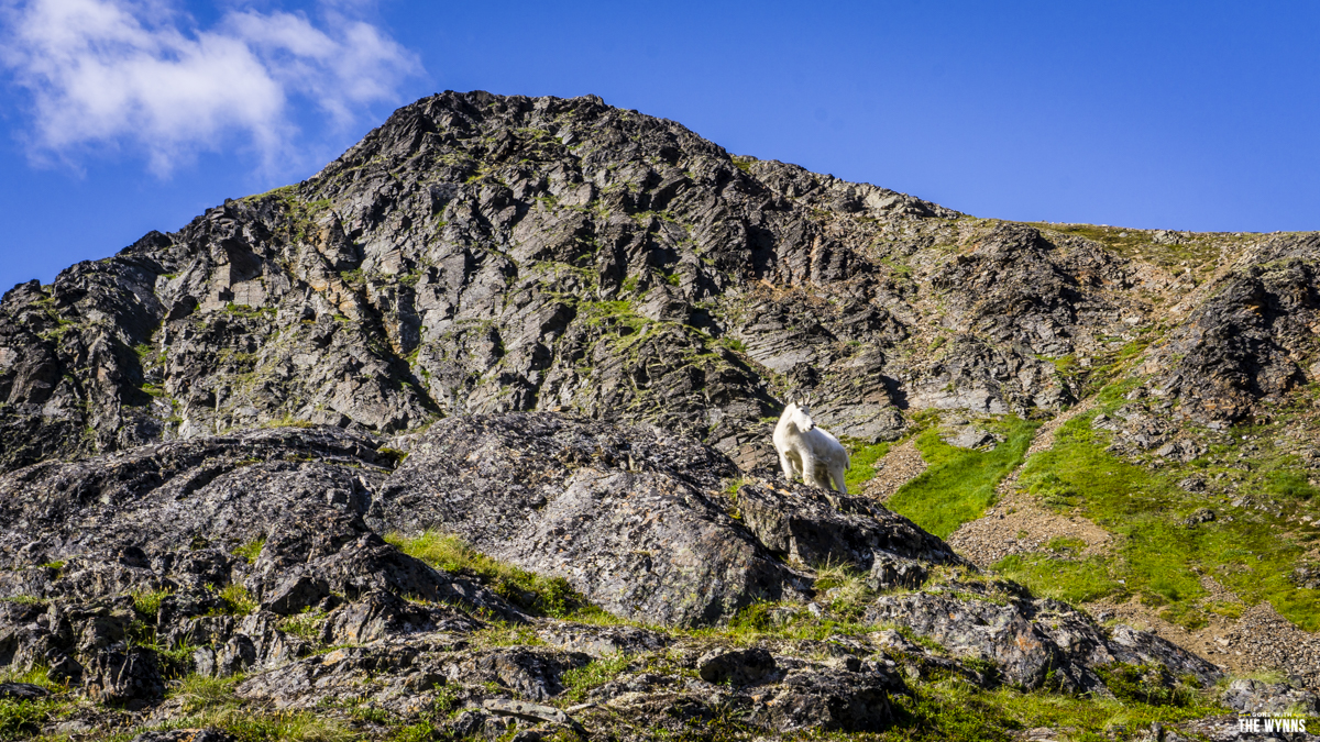 dall sheep alaska