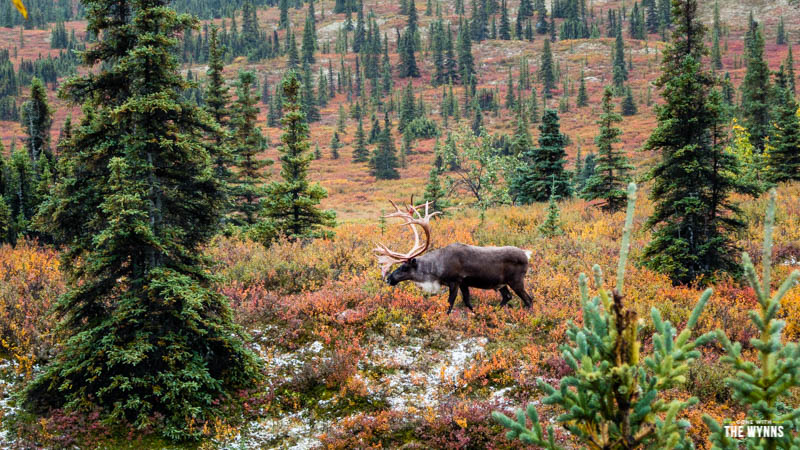 wildlife in Denali National Park