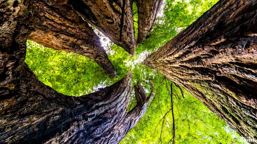 tall trees hike in california