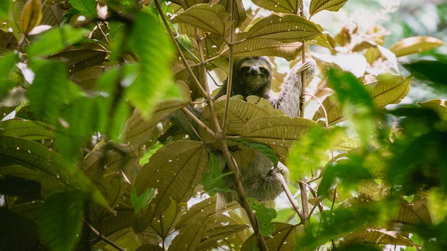 sloth in isla bastimentos, bocas del toro