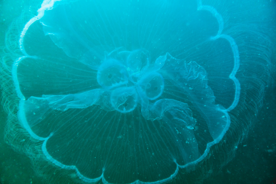 Jelly fish scuba diving