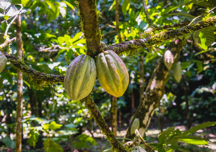 cacao pods growing in jungle