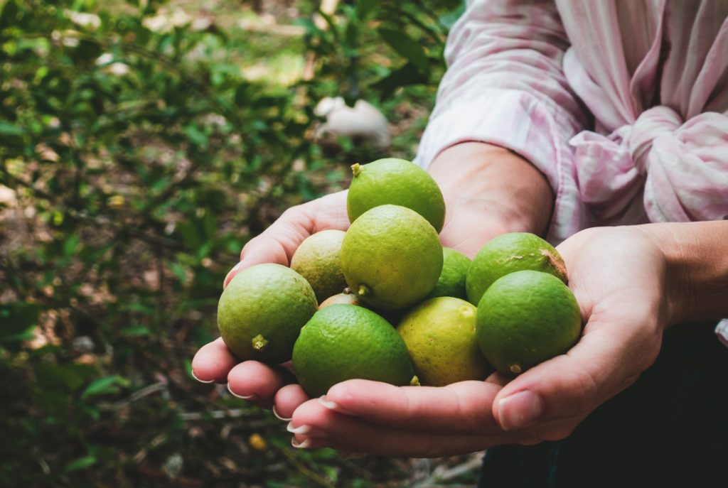 hand picked wild limes on a south pacific island