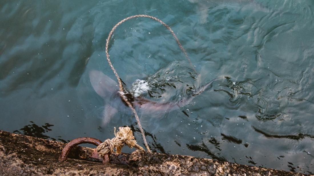 swarming sharks of nuku hiva marquesas