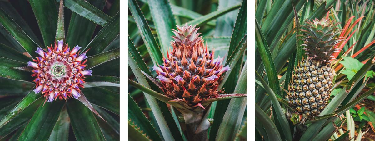 how pineapples grow