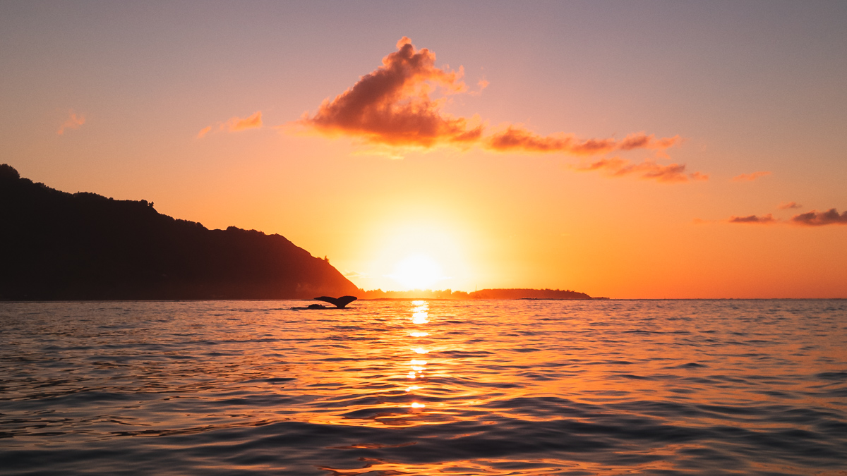 sunset with whales in moorea french Polynesia most incredible experience