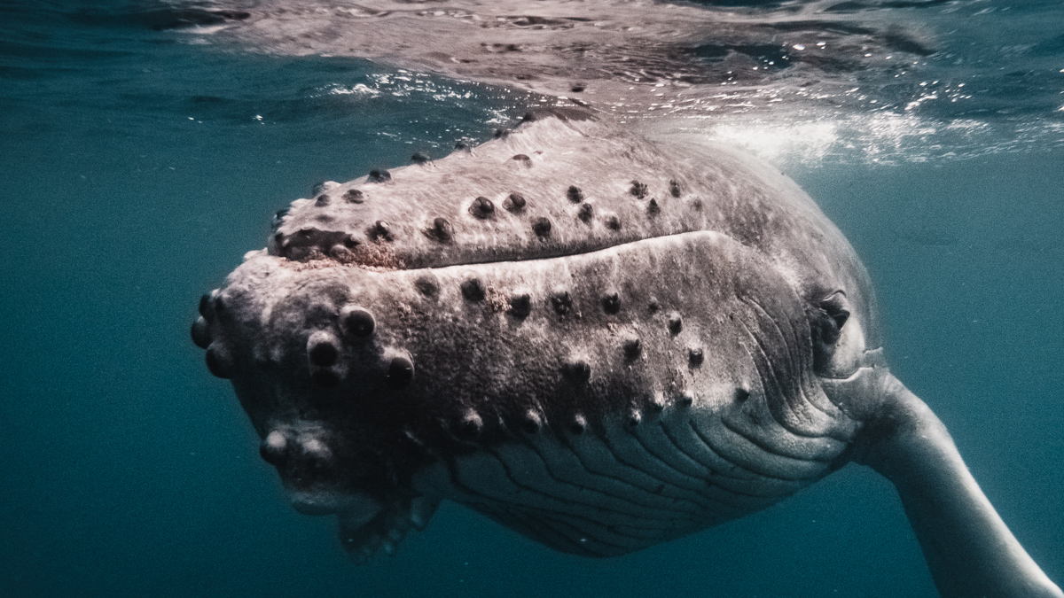 up close encounter swimming with baby whales most incredible experience