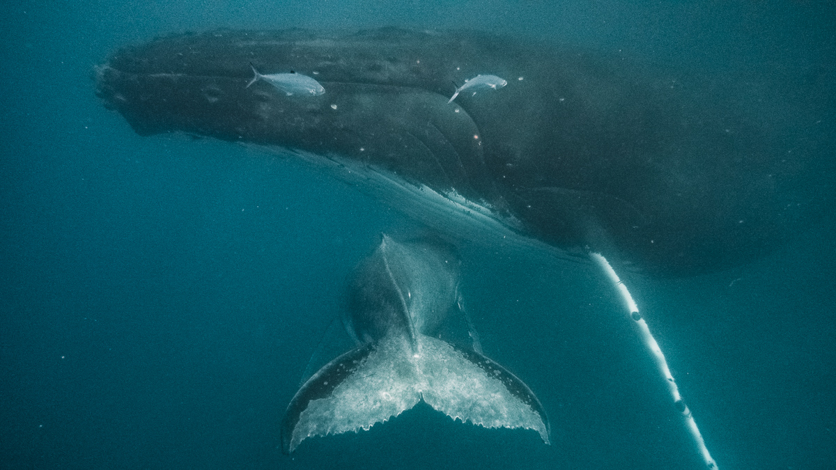 swimming with whales in moorea french polynesia