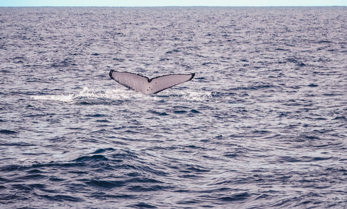 whale tail while sailing in tahiti