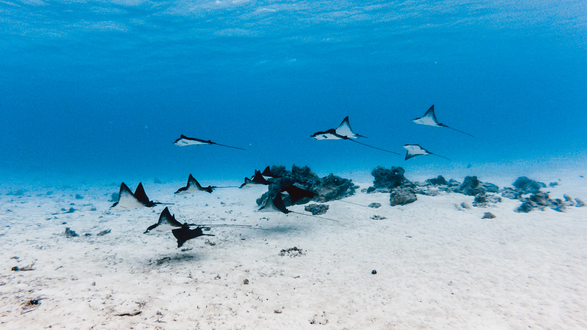 a flock of eagle rays in bora bora
