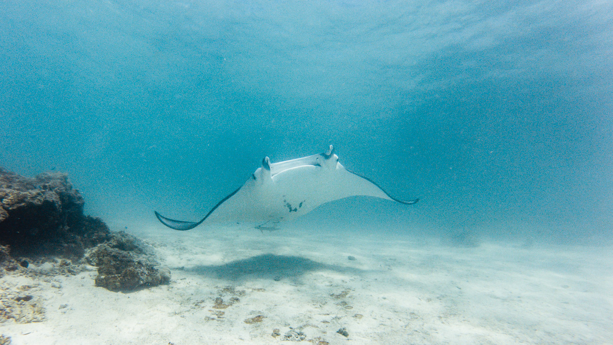 freediving with manta rays in the south pacific