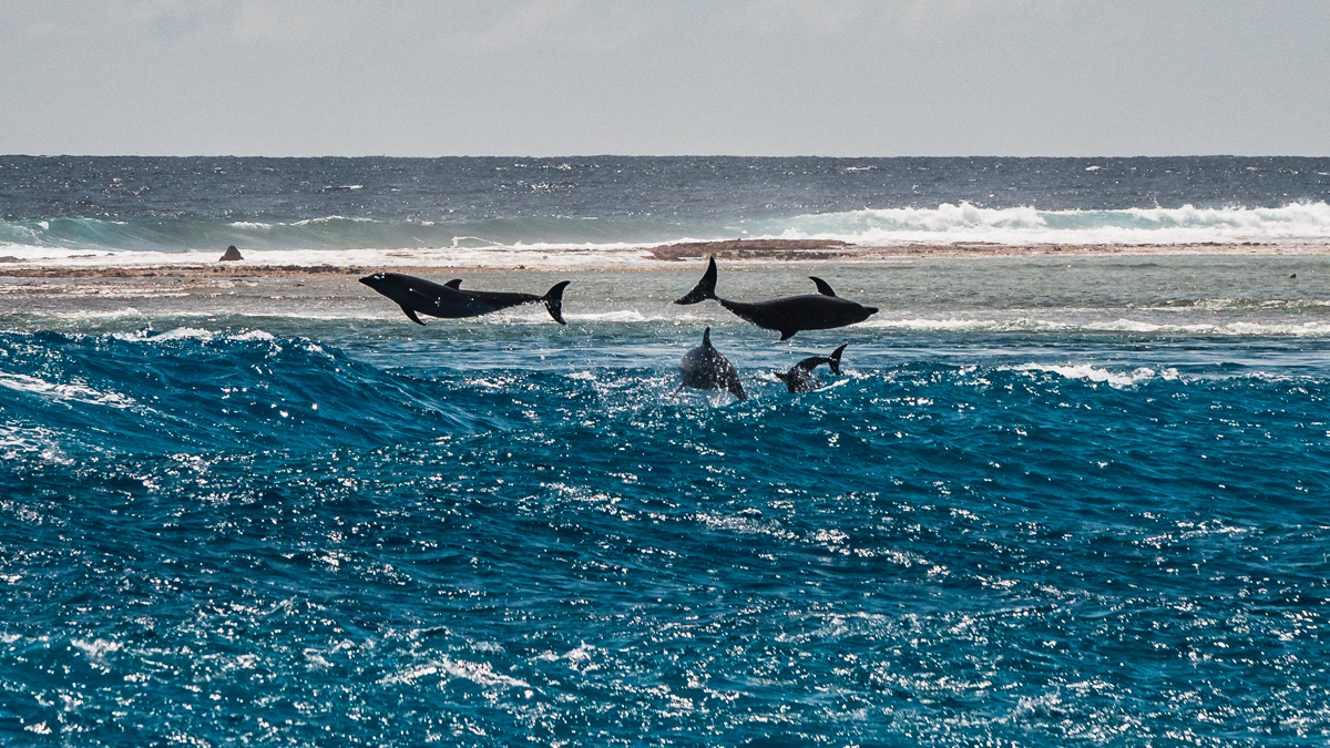 dolphins playing in the pass in rangiroa atoll, tuamotu