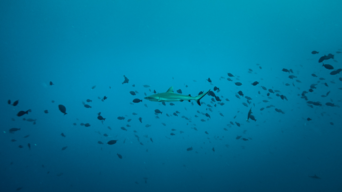Diving in fakarava with sharks from Sailboat Curiosity