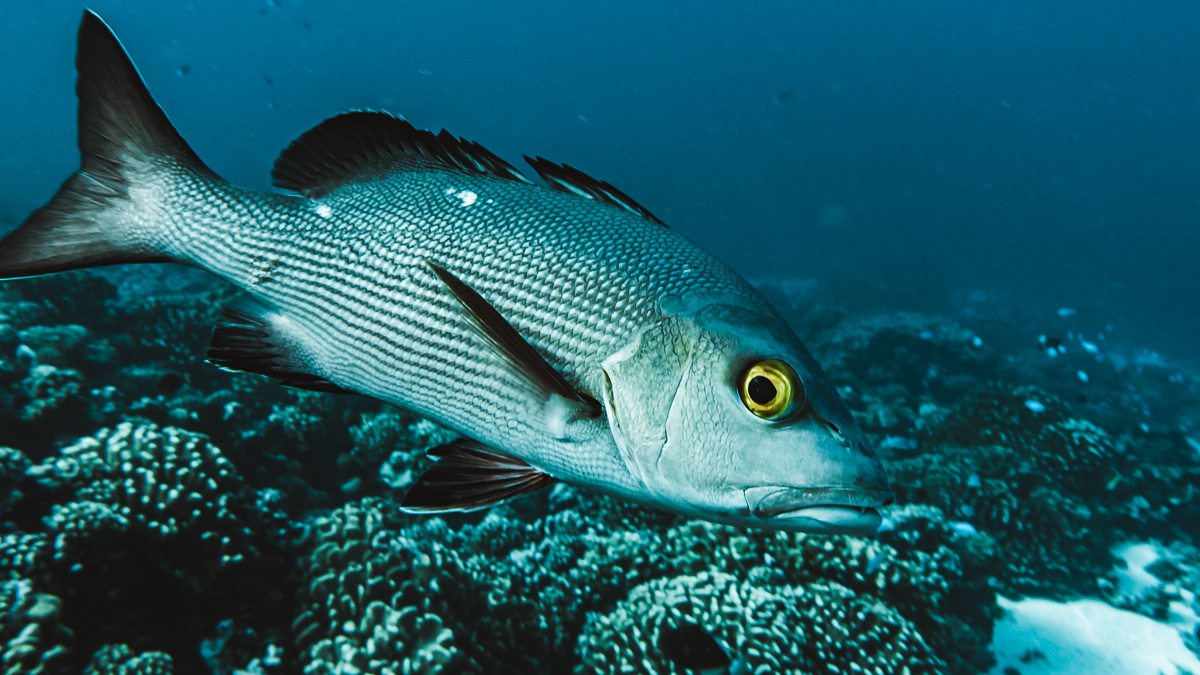 close up snapper while Diving in fakarava from Sailboat Curiosity
