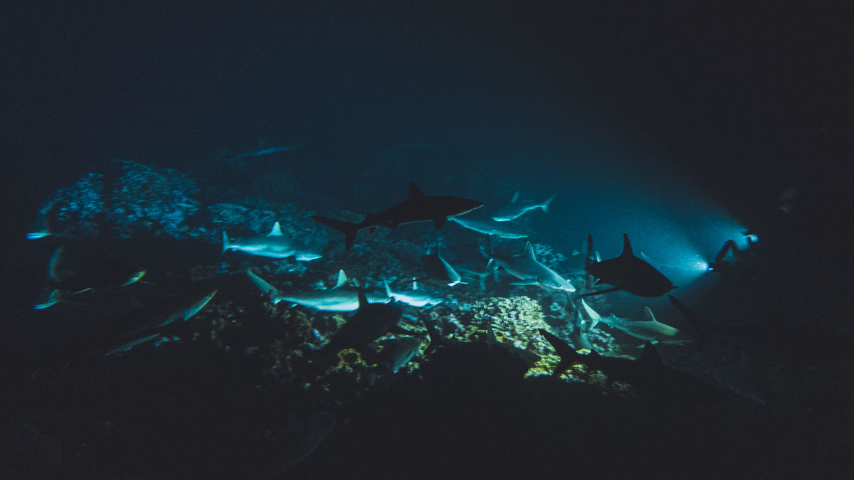 diving with hundreds of sharks at night in Fakarava