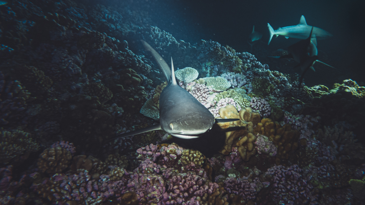 night diving with grey sharks in fakarava south pacific