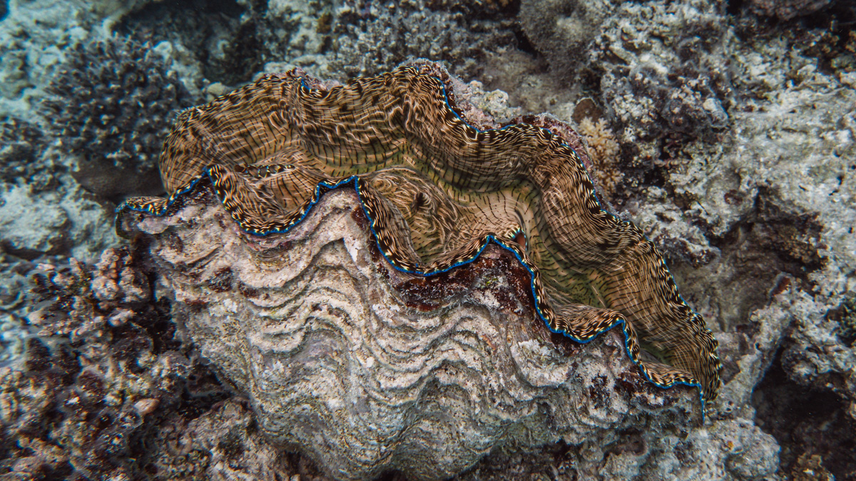 giant clams aitutaki south pacific