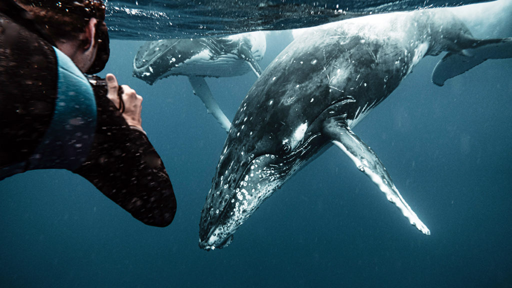 wynns swimming with whales in tonga